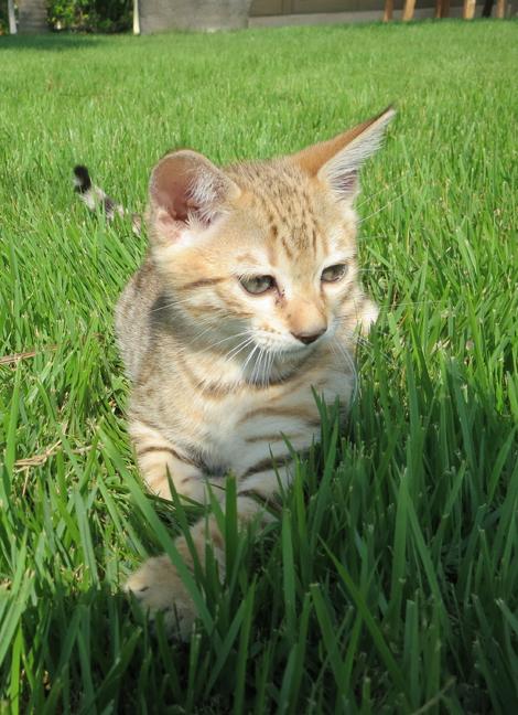 Joe-Francis-Kiki-Cat-Kitten-2